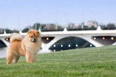 Dog pet chow chow Stock Image