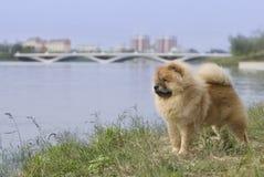 Dog pet chow chow Stock Photos