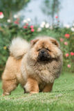 Dog pet chow chow Stock Photos