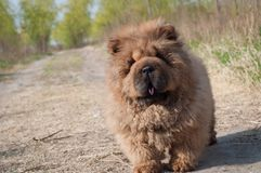 Dog pet chow chow runing on road stock photography
