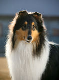 Dog pet Collie Royalty Free Stock Photos