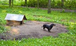 Dog pet dachshund sausage-dog chained dog house Royalty Free Stock Image