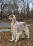 Dog pet English Setter stock images