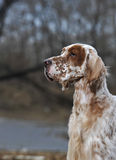 Dog pet English Setter Stock Photos