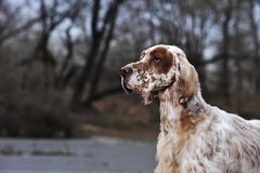 Dog pet English Setter Royalty Free Stock Images