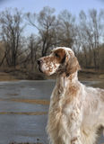 Dog pet English Setter Stock Photo