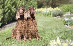 Dog pet friendship - Irish Setter couple sitting in the grass. Dog pet friendship, love - happy Irish Setter couple sitting in the grass with flowers stock photo