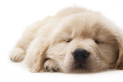 Dog pet Golden Retriever Royalty Free Stock Photos