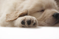 Dog pet Golden Retriever Stock Photography
