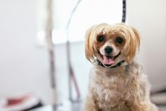 Dog In Pet Grooming Salon. Happy Funny Animal In Pet Spa Salon. High Resolution royalty free stock photos