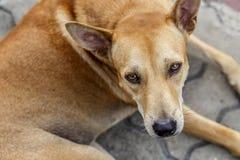 Dog. Pet head animal curious Stock Images