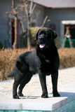 Dog pet Labrador  Retriever Royalty Free Stock Photography