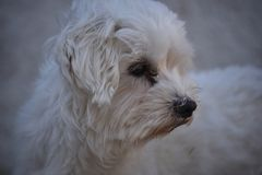 Dog pet maltese Stock Photos