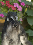 Dog pet Mini Schnauzer. A dog on the garden stock photos