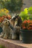 Dog pet Mini Schnauzer. A dog on the garden stock images