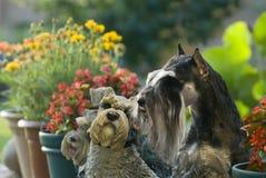 Dog pet Mini Schnauzer garden. A dog on the garden stock photo