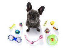 Dog with pet toys. Curious french bulldog dog looking up to owner waiting or sitting patient to play or go for a walk, isolated on white background, with a lot stock photos