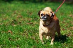 Dog Petit Brabancon. The small Belgian dog Petit Brabancon on green grass Royalty Free Stock Image