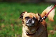 Dog Petit Brabancon. The small Belgian dog Petit Brabancon on green grass Stock Photo