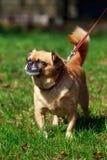 Dog Petit Brabancon. The small Belgian dog Petit Brabancon on green grass Royalty Free Stock Photo