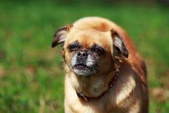 Dog Petit Brabancon. The small Belgian dog Petit Brabancon on green grass Stock Photos