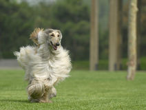Dog pets  Afghan Hound Stock Photography