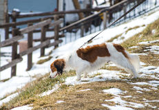 Dog pets walk in snow Royalty Free Stock Image