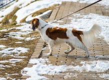 Dog pets walk in snow Stock Photos