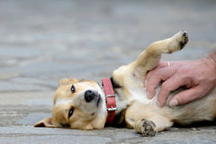 Dog is petted Stock Image