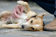 Dog is petted Stock Images