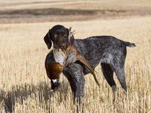Dog and Pheasant Royalty Free Stock Photo