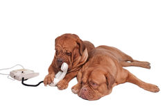 Dog on the phone. Dog is going to talk on the phone with friend waiting next to it Stock Photo