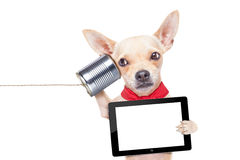 Dog on the phone. Chihuahua dog talking on the phone surprised, holding a blank tablet pc, isolated on white background Stock Image