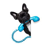 Dog phone telephone. French bulldog dog holding a old retro telephone behind a blank empty banner or placard,isolated on white background Royalty Free Stock Image