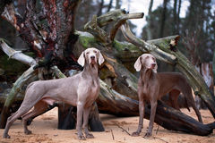 Dog. Photo of a large purebred dog Royalty Free Stock Images