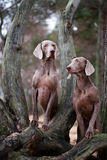 Dog. Photo of a large purebred dog Royalty Free Stock Image