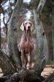 Dog. Photo of a large purebred dog Royalty Free Stock Photography