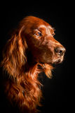 Dog. Photo of a large purebred dog Stock Image