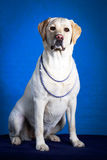 Dog. Photo portrait in studio Royalty Free Stock Photography