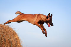 Dog. Photo of a purebred dog Stock Photography