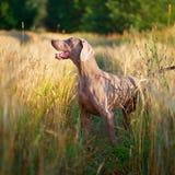 Dog. Photo of a purebred dog Royalty Free Stock Photo