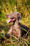 Dog. Photo of a purebred dog Stock Photos