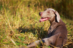 Dog Royalty Free Stock Photography