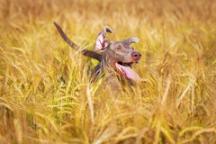 Dog. Photo of a purebred dog Royalty Free Stock Photography