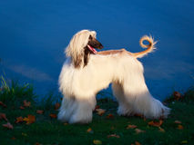 Dog. Photo of a purebred dog Royalty Free Stock Photos