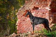 Dog. Photo of a purebred dog Royalty Free Stock Photo