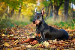 Dog Royalty Free Stock Images