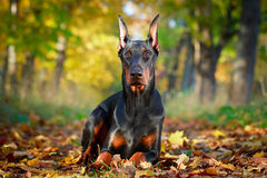 Dog. Photo of a purebred dog Stock Image