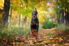 Dog. Photo of a purebred dog Royalty Free Stock Images