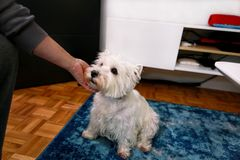 Dog photo shoot at home. Pet portrait of West Highland White Terrier dog sitting on floor and blue carpet at house. stock photography